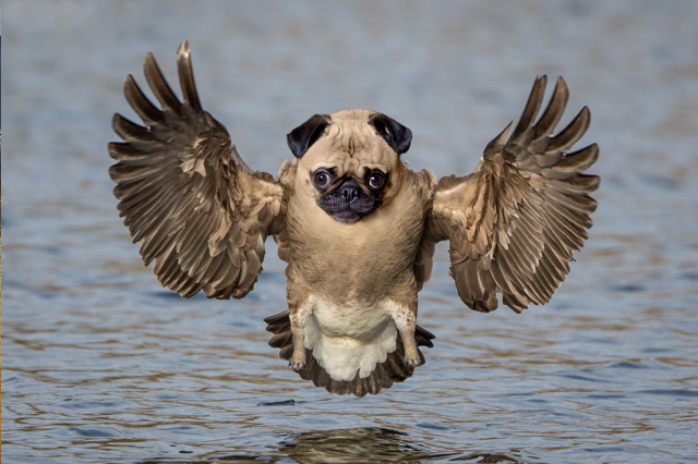 owl-pug-gremlin